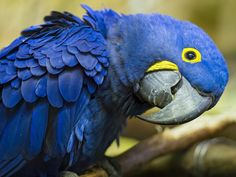 Loro azul hd 800x600 - imagenes - wallpapers gratis - Animales - fondos de pantallas hd #271