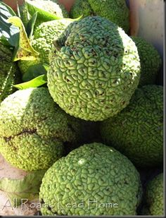 Hedge apples. Great fall decor and a Kentucky grown favorite.