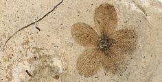 Porana oeningen fossil flower