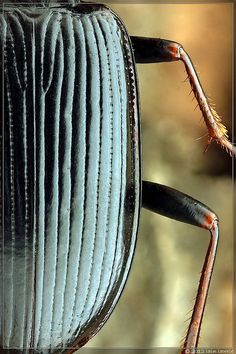The order Coleoptera includes more species than any other order, constituting almost 25% of all known life-forms. Beetles are amazing.
