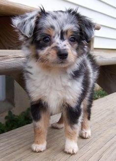 long-hair Chihuahua and Australian sheepdog mix.