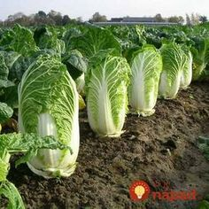 500 Chinese cabbage seeds, green vegetable seeds for healthy bok choy seeds for farm garden plants Vegetable Garden, Vegetable Seed, Plants, Agriculture, Organic Gardening, Leaf Vegetable, Garden Plants, Cabbage Seeds, Farm Gardens