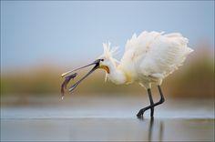 Spoonbill by Jamie Fox