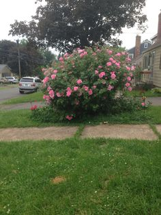 My rose tree