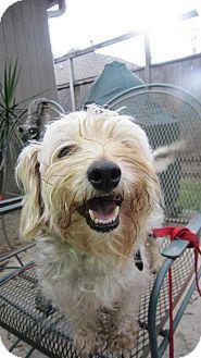 Baton Rouge, LA - Standard Schnauzer Mix. Meet Public - Munchin, a dog for adoption. http://www.adoptapet.com/pet/11658805-baton-rouge-louisiana-standard-schnauzer-mix