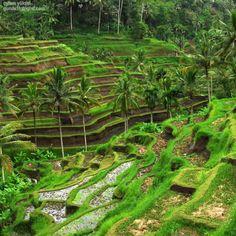 Enchanting sights of Bali - terracing ...