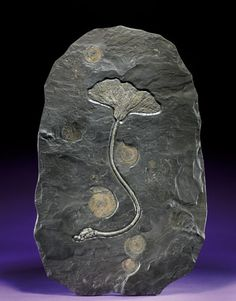 German sea lily fossil (crinoid)