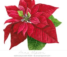 Poinsettia_Watercolour