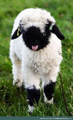 Northumberland farmer welcomes unseasonal arrivals as 'worlds cutest lambs' are born - - The five rare breed Valais Blacknose sheep, two of which were named after farmer Jamie Wood's daughters, were born at Prendwick Farm in Northumberland. Fluffy Cows, Fluffy Animals, Cute Baby Animals, Animals And Pets, Farm Animals, Nature Animals, Strange Animals, Wildlife Nature, Wild Animals