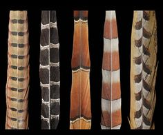 5 tail feathers from different pheasants - Reeves, Mikado, Copper, Elliots, Ringneck.