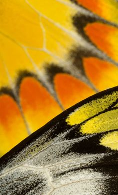 Detail of Delias sambawana butterfly wing, from the museum's McGuire Center for Lepidoptera and Biodiversity collections.  Photograph by Eric Zamora, FLMNH.