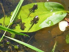 Tadpoles in the pond. Cute little guys aren't they? I remember as a child that every year would bring a jar of tadpoles to school to put into an aquarium to watch develop to this stage. It was like watching magic.