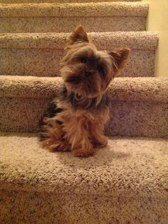 Yorkshire terriers are a little type of 'toy canines' weighing a meager 7 pounds as adults. Their size is due to their origins as designated vermin killers. Yorkies, Yorkie Puppy, Teacup Yorkie, Cute Puppies, Cute Dogs, Dogs And Puppies, Bulldog Puppies, Yorshire Terrier, Top Dog Breeds