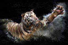 Tiger, tiger...