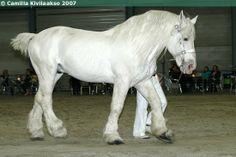 Boulonnais stallion Ursus