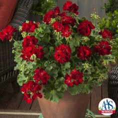 Geranium Calliope® Medium Dark Red