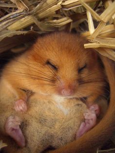 Hazel dormouse in torpor