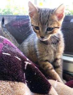 Meet Ace 22265, a Petfinder adoptable Domestic Short Hair Cat | Prattville, AL | Ace is an 8-week old, brown male tabby kitten.Dogs and puppies may be adopted for a fee of $120....
