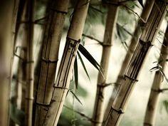 Bamboo foliage: 32 тыс изображений найдено в Яндекс.Картинках