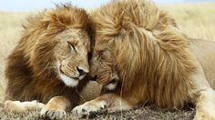 [フリー画像素材] 動物, 哺乳類, ライオン ID:201404100900