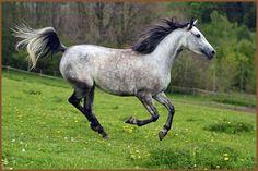 arabian horses running - Google Search