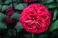 Celebrities from supermodel Jerry Hall to actor Benedict Cumberbatch stopped by the David Austin display at the 2014 Chelsea Flower show to get a gander at the rose breed                ... See Moreer's gorgeous blooms.