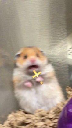 """Fearful Hamster"" is the latest cute meme insanity of the internal . - memes - Hamster fear is the latest cute meme insanity of the internal - Funny Animal Jokes, Cute Funny Animals, Funny Animal Pictures, Funny Dogs, Memes Lindos, Funny Hamsters, Wattpad, Cute Memes, Funny Memes"