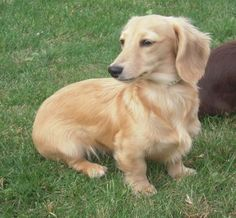 English Cream Dachshunds...seriously they are the cutest.