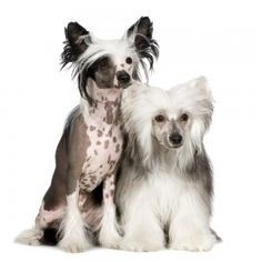 Here is some great information about the Chinese Crested Powder Puffs breed. Whether you are looking to buy one or just want to know more...  http://miniaturepaws.com/chinese-crested-powder-puffs-information-about-breed/