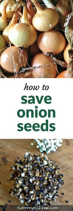 Here& how to save onion seeds - it& super easy to save your own high-quality heirloom onion seeds! Organic Vegetables, Fruits And Vegetables, Veggies, Regrow Vegetables, Gardening For Beginners, Gardening Tips, Container Gardening, Growing Winter Vegetables, Growing Onions