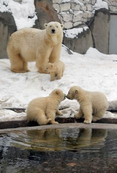 Three polar bear cubs born in November last year play at the Moscow Zoo.