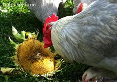 Help Pollinators and Your Chickens with Sunflowers -- Community Chickens