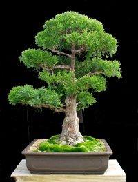 Ten Steps to Good Bonsai | bonsaimary.com
