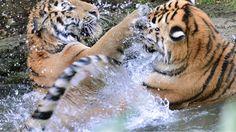 28. Juli, #Sachsen: Eine ordentliche Erfrischung haben sich zwei #Tiger im Leipziger #Zoo gegönnt. Foto: dpa Mehr Bilder des Tages hier: www.noz.de/73720097/