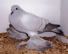 """Ice Pigeon is a breed of fancy pigeons known and named for its """"ice-blue"""" colour."""