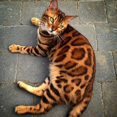Best Photographs Bengal Cats thor Popular Primary, let's talk about precisely what is actually a Bengal cat. Bengal felines certainly are a pedigree bre. Funny Cats, Funny Animals, Cute Animals, Funniest Animals, Pretty Cats, Beautiful Cats, Cute Cats And Kittens, Cool Cats, Gatos Cat