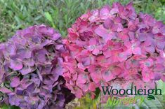 Hydrangea macrophylla Colonel Durham_ Hydrangea Macrophylla, Red Flowers, Perennials, How To Find Out, Nursery, Durham, Plants, Baby Room, Hydrangeas