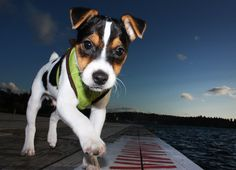Jack Russell Terrier puppy - Rocky!