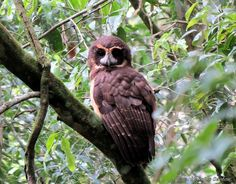 Tawny-browed Owl (Pulsatrix koeniswaldiana). Photo by Kassius Santos.