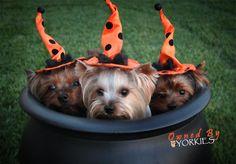 yorkie halloween pictures | Yorkie Health | Yorkie Blog by Yorkie Splash and Shine