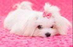 Too cute Maltese