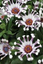 Osteospermum Spider White - Plants