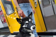 Mit engen Maulkörben können Hunde nicht hecheln #News #Wohnen