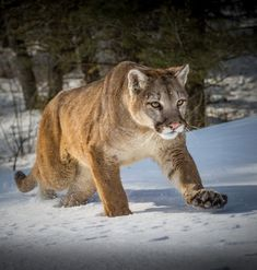 Mountain Lion by © frankpaliphotography