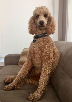 Standard Poodle Bella