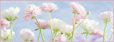 Pastel Flowers Facebook Cover