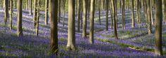 Wegwijs tijdens de bloei van de hyacinten in het Hallerbos   Agentschap voor Natuur en Bos