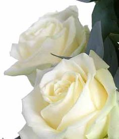 White Avalanche Rose