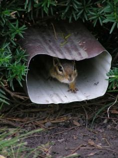 Keep destructive rodents from ruining your garden and interfering with your home's foundation using these humane methods for how to get rid of chipmunks. P Garden, Garden Pests, Fruit Garden, Herbs Garden, Chipmunk Repellent, Insect Repellent, Get Rid Of Chipmunks, Container Gardening, Gardening Tips