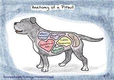 anatomy of a pitbull